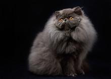 Blue Persian Cat Black Backgro...
