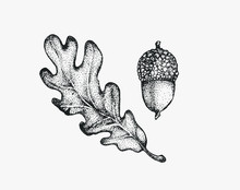 Acorn Oak Hand Drawn Ink Illustration In Stippling Technique. Isolated Vintage Forest Foliage Leaf Clipart. Graphic Design Decorative Elements For Postcards, Invitations, Posters And Social Media.