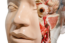 Anatomy Female Head And Face M...