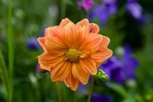 Orange Dahlia Flower In A Natu...