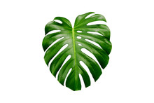Tropical Leaf Monstera On A Wh...