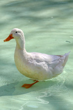 White Duck Standing In Artific...