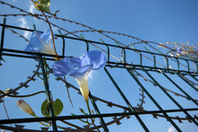 Metal Fence And Morning Glory ...