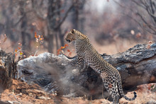 Leopard In The Wilderness Of A...