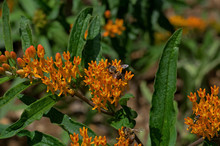 Honey Bee Which Is A Member Of The Genus Apis Asclepias Tuberosa On Butterfly Weed.  Butterfly Weed Is A Species Of Milkweed With Clustered Orange Flowers From Early Summer To Early Autumn.