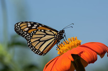 Monarch Butterfly On Tithonia ...