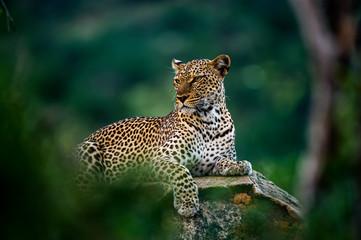 Afrički leopard odmara se na stijeni skrivenoj u grmlju. Nevjerojatan leopard u staništu prirode. Prizor divljih životinja iz nacionalnog rezervata Samburu, Kenija, Afrika. Panthera pardus pardus.
