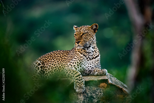 African leopard resting on rock hidden in bush Wallpaper Mural
