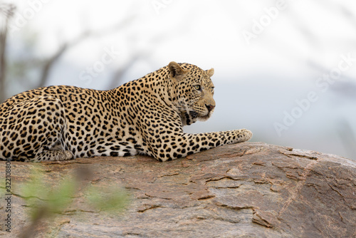 Fototapety, obrazy: Leopard in the wilderness of Africa