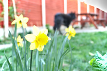 Yellow Daffodils In The Garden...
