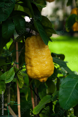 An Etrog is yellow citron used by Jews during holiday of Sukkot, as one of the four species
