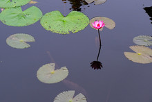 Pink Water Lily Reflecting In ...