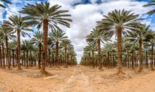 Plantation Of Date Palms, Agri...