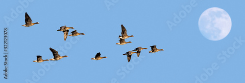 Fototapeta Full moon and flock of white-fronted geese / greater white-fronted geese (Anser albifrons) in flight against blue sky at dusk obraz