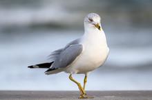 Ring Billed Gull On The Gulf C...