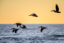 Brown Pelicans  Over The Gulf ...