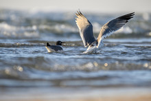 Laughing Gulls On The Texas Co...
