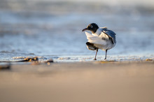 Laughing Gull On The Texas Coast