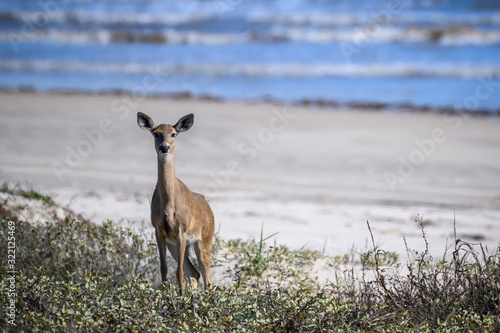 Photo Whitetail Deer on the Texas Coast