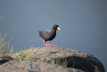 Black American Coot Bird Perched On A Huge Rock With A Blurred Background
