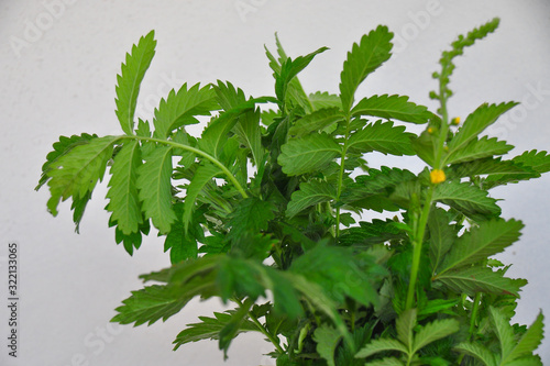 Photo Detail photo of medicinal herb