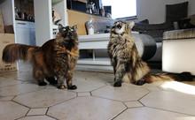 Zwei Hübsche Maine-Coon Katze...