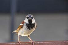 Male Of House Sparrow. The Hou...