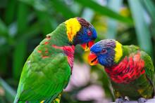 Two Rainbow Lorikeets On A Bra...