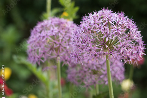 Close-up View: Beautiful Purple Flowers of Blossom Allium are in Spring Garden Wallpaper Mural