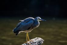 Burnie, Tasmania, Australia: March 2019: Heron Resting On A Tree Trunk