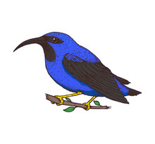 Purple Honeycreeper Vector Ill...