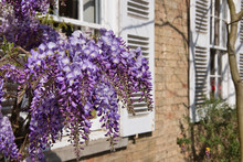 Wisteria Flower On The Wall Of...