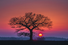 Oak Tree Silhuette With Red Sunset In The Horizon
