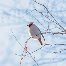 The Bohemian Waxwing (Bombycilla Garrulus) Is A Bird Of The Bombycillidae Family. Bohemian Waxwing Is Fed With Red Berries In Winter