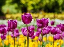 Tulips Of Many Colors Photogra...