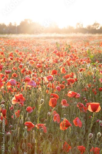Fototapeta field of poppies obraz na płótnie