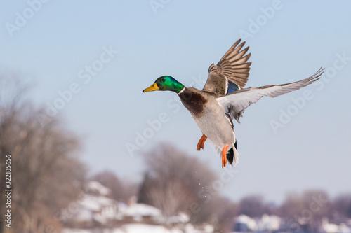 Valokuvatapetti Mallards in winter