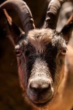 Capra Aegagrus Hircus Close-up Photography, Goat Face Macro Image