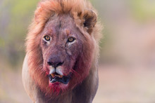 Lion Witha Bloody Mane In The ...