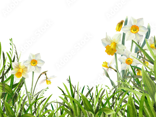 Fototapety, obrazy: Watercolor green grass with narcissus flowers background. Hand drawn fresh floral illustration isolated on white. Perfect for easter and spring design.