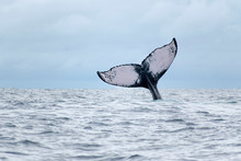 Humpback Whale Spotted Tail In...