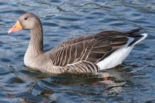 Greylag Goose (Anser Anser), B...