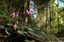 Wild Cyclamens In Swiss Woodland