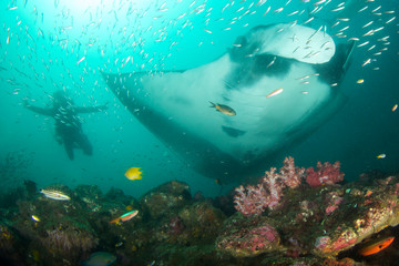 Fototapeta na wymiar Giant Manta Ray and scuba diver