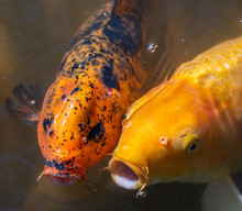 Two Golden Midas Cichlid Fish Looking For Food In The Lake At The Byodo-In Temple On Oahu, Hawaii
