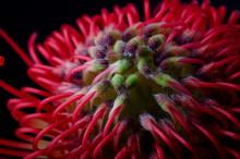 Leucospermum Cordifolium, Red ...