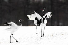 Couple Of Red Crowned Crane Dancing