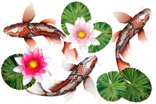 Koi Carps, Traditional Colorful Japanese Fish Detailed Vector
