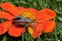 Wheel Bug Or Assassin Bug On T...