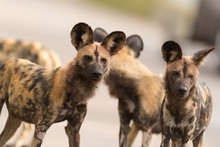 Pack Of African Wild Dog In Th...